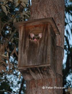 Possum Nests Blog Peter The Possum And Bird Man